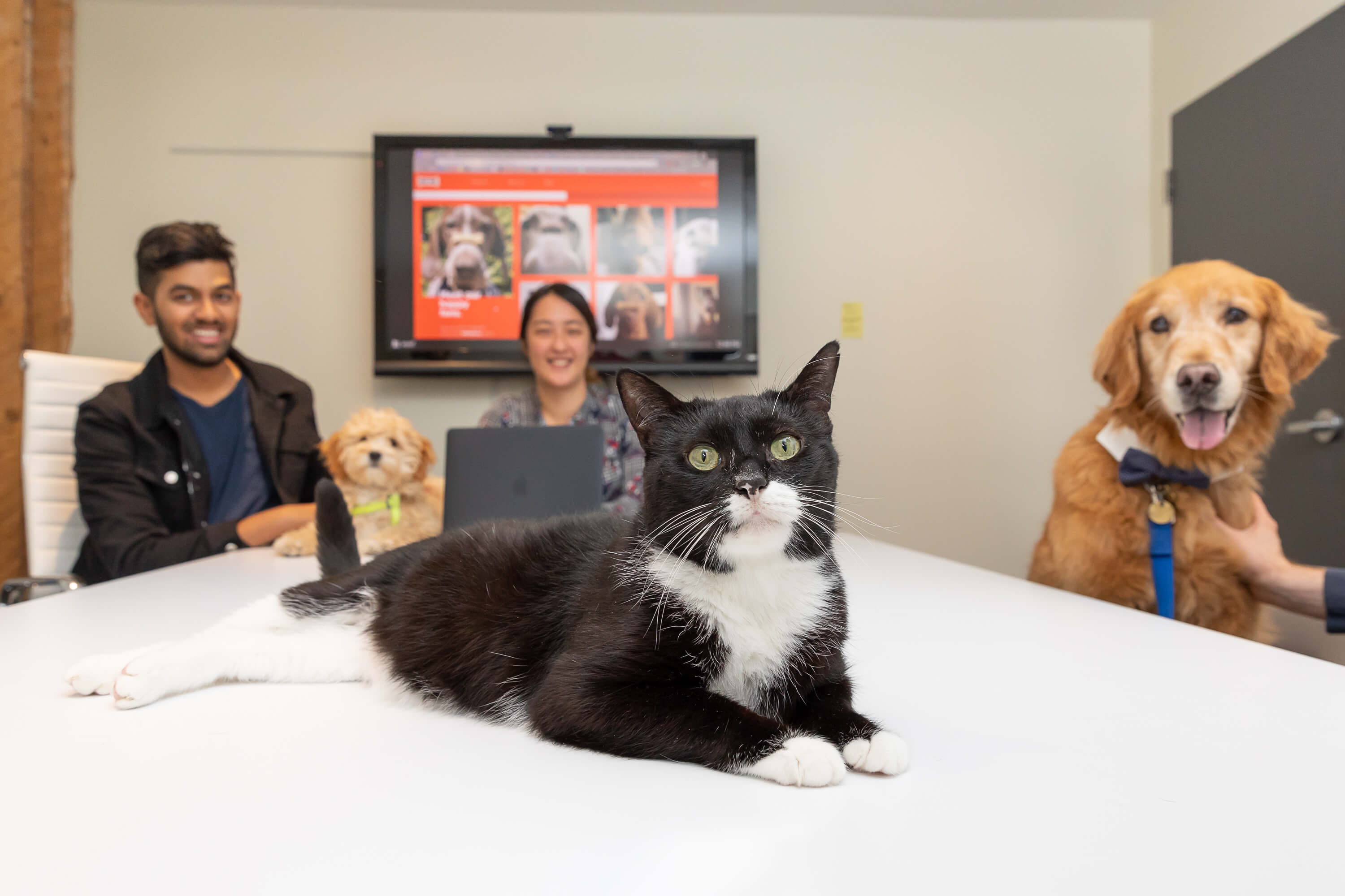 cat and dogs in boardroom