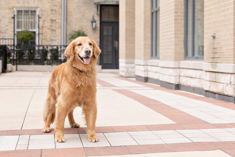 golden retriever in office courtyard