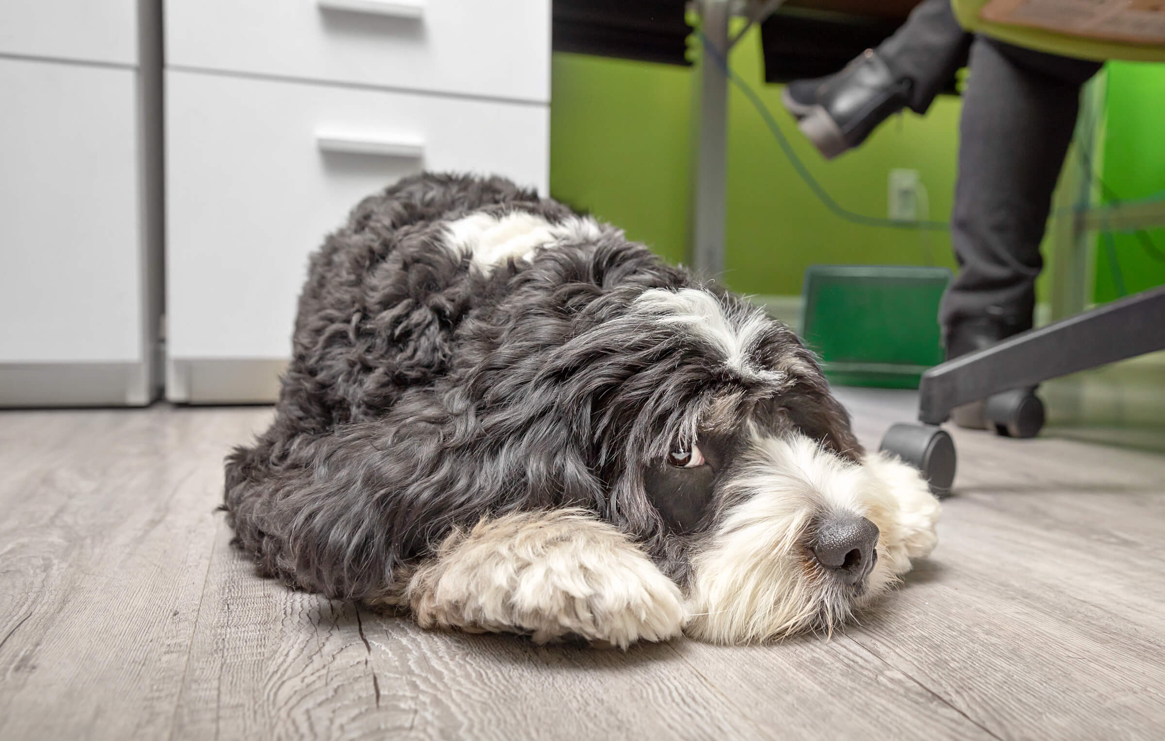 bernedoodle laying under desk while employee works
