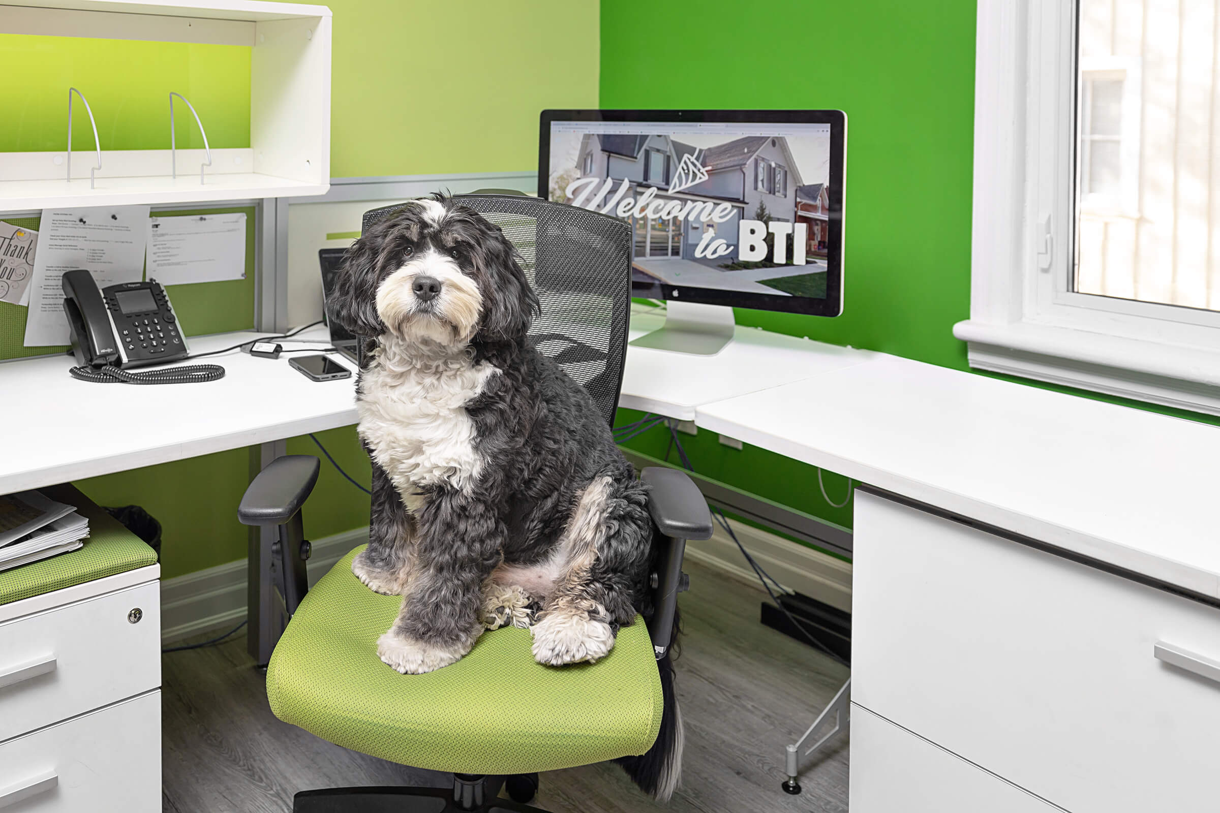 bernedoodle at office desk of BTI, Mississauga