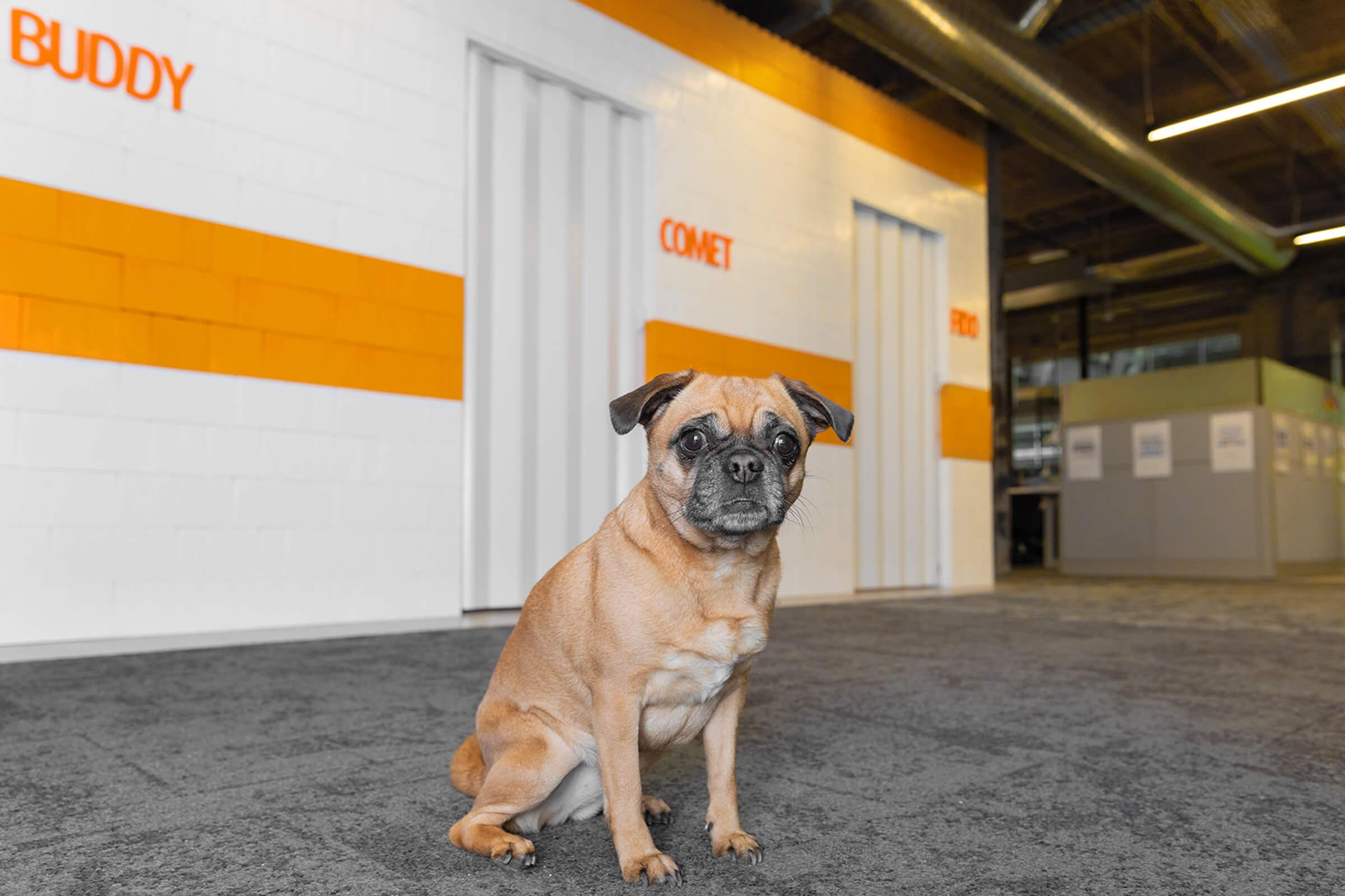 pug dog in Toronto office