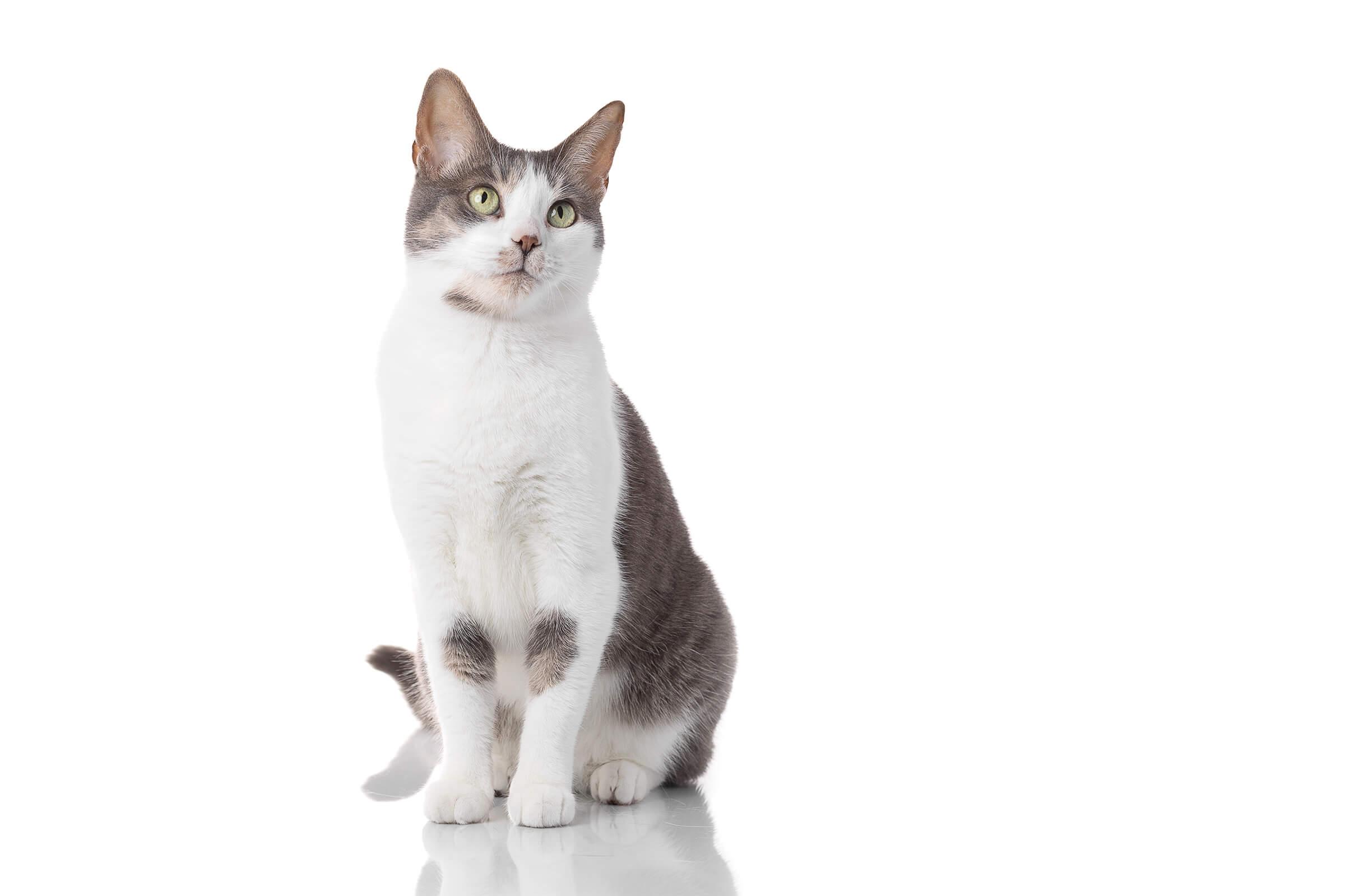 cat on white plexiglass in ad