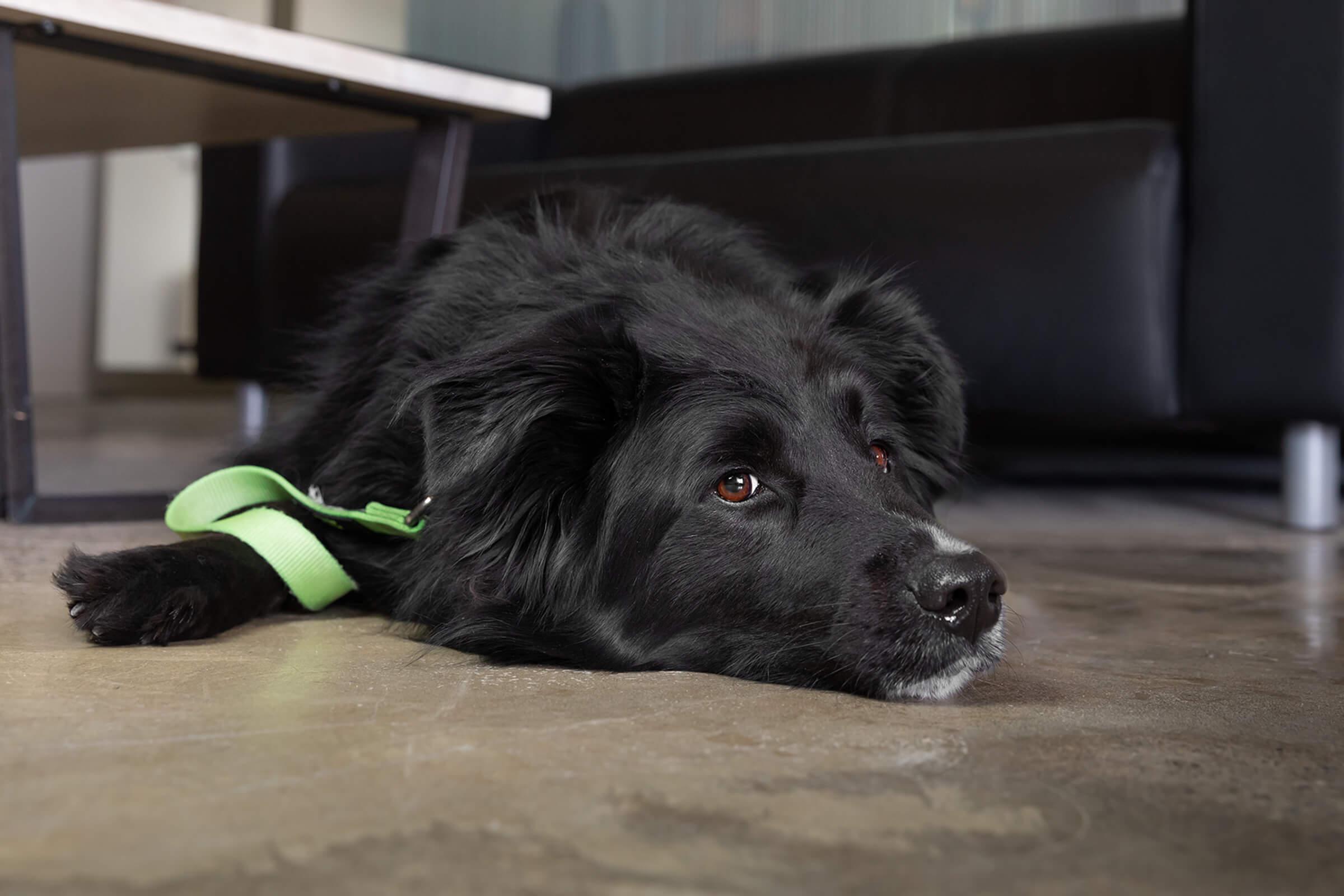 Black Shepherd dog in Toronto office