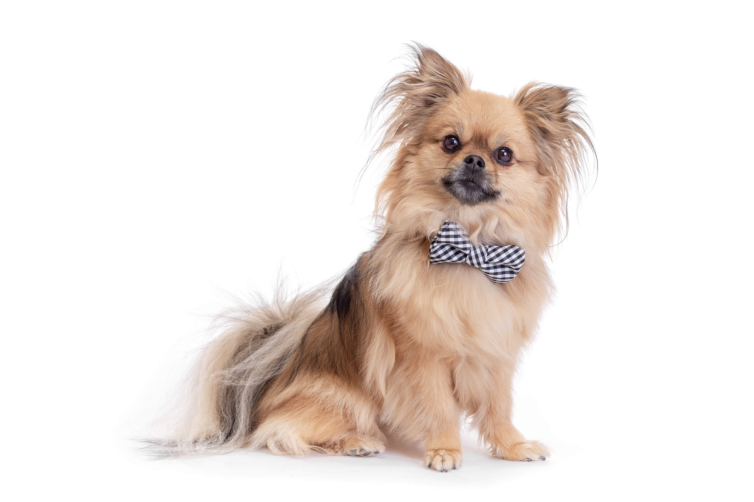 Pomeranian dog with bowtie commercial white