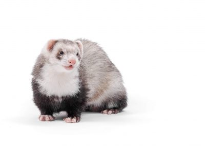ferret on white background