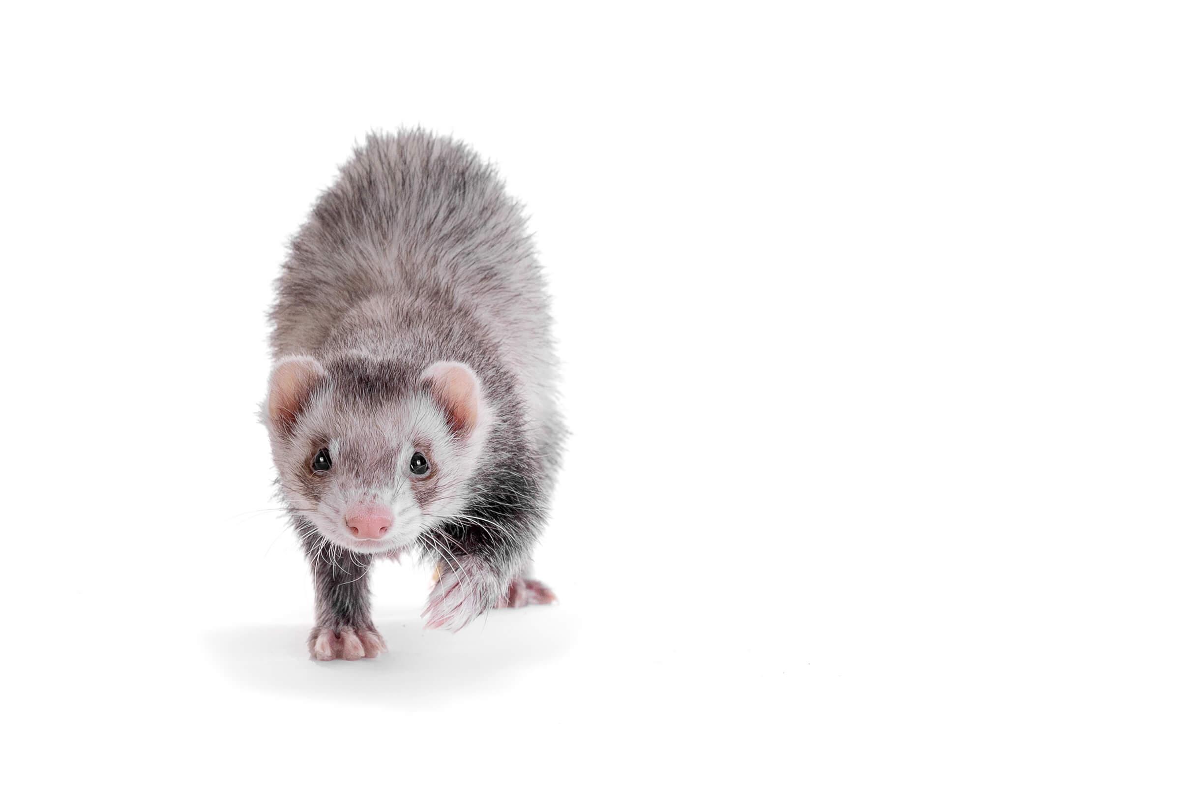 walking ferret on white background