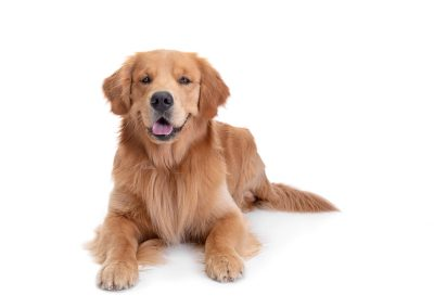 golden retriever lying down on white background