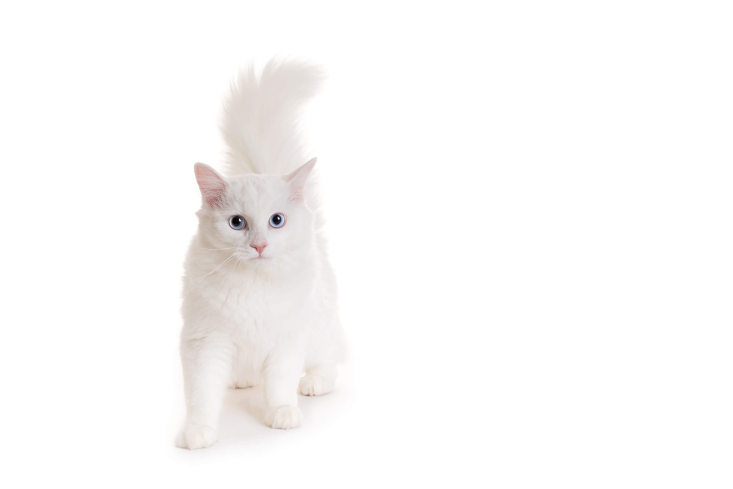 angora cat on white background