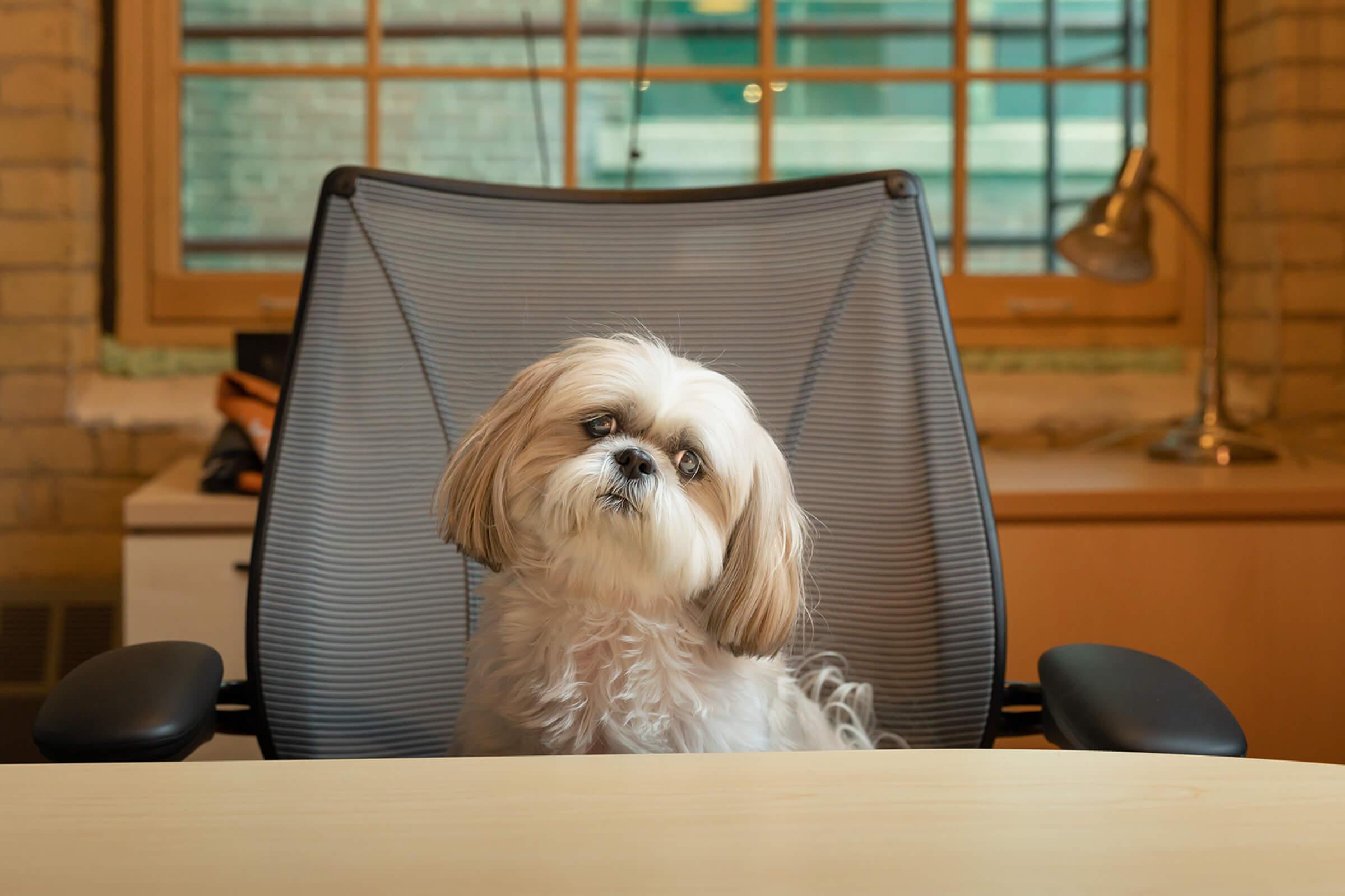 Shih Tzu dog in Toronto office