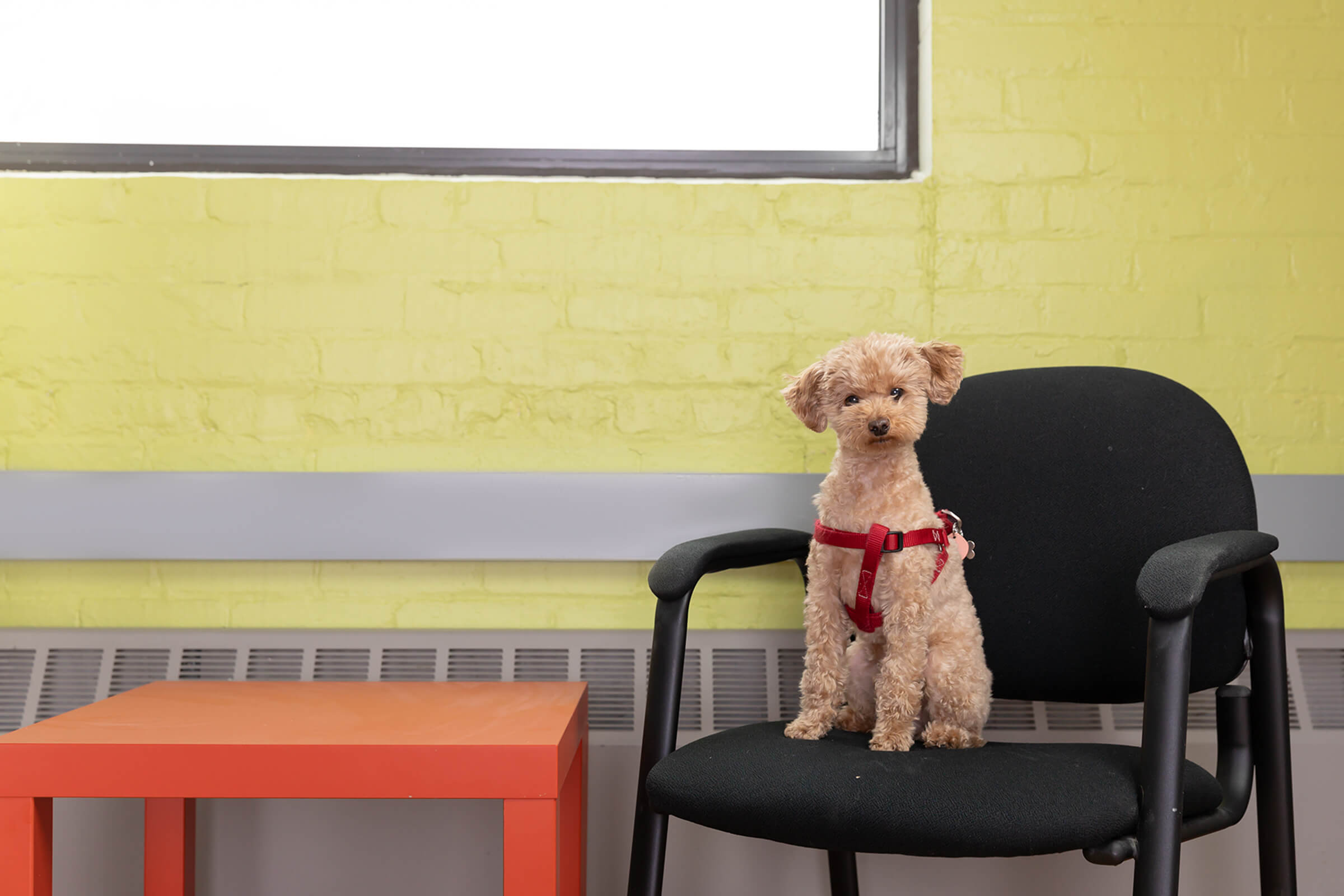 mini poodle dog in Toronto office