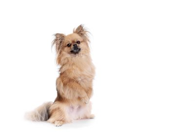 begging dog on white background