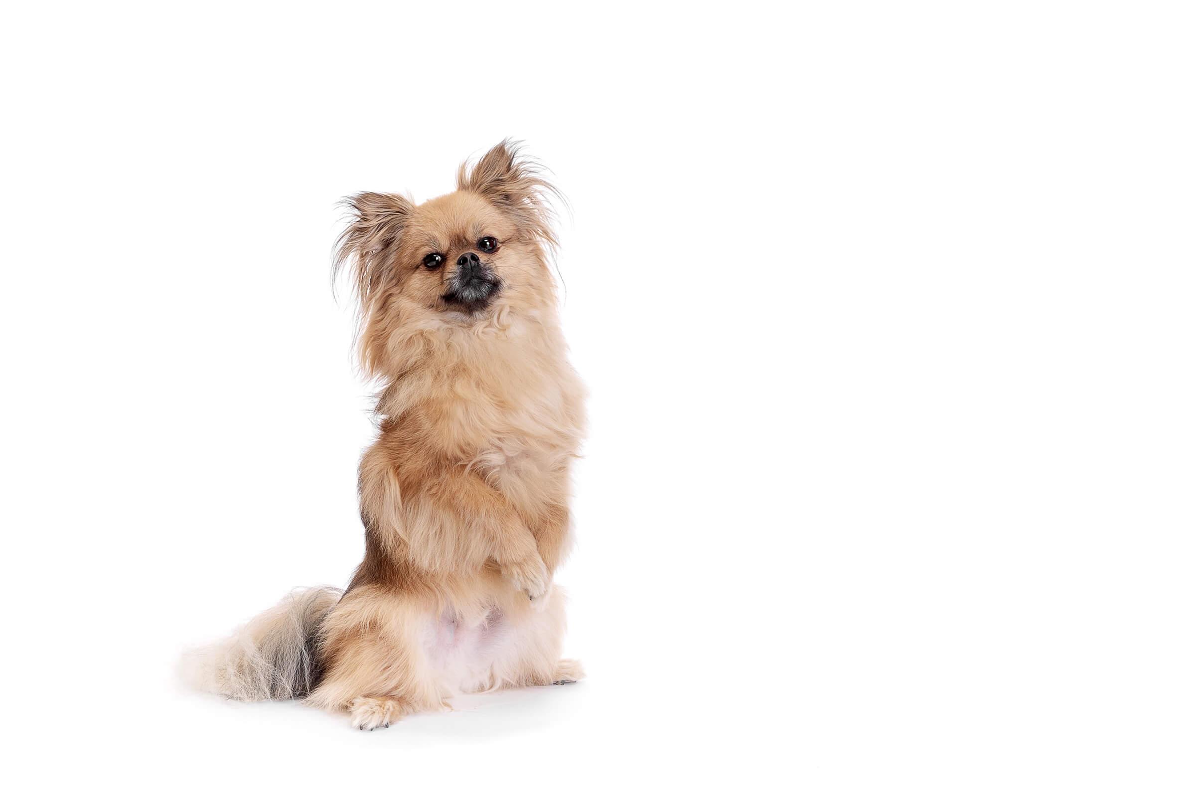 begging dog on white background