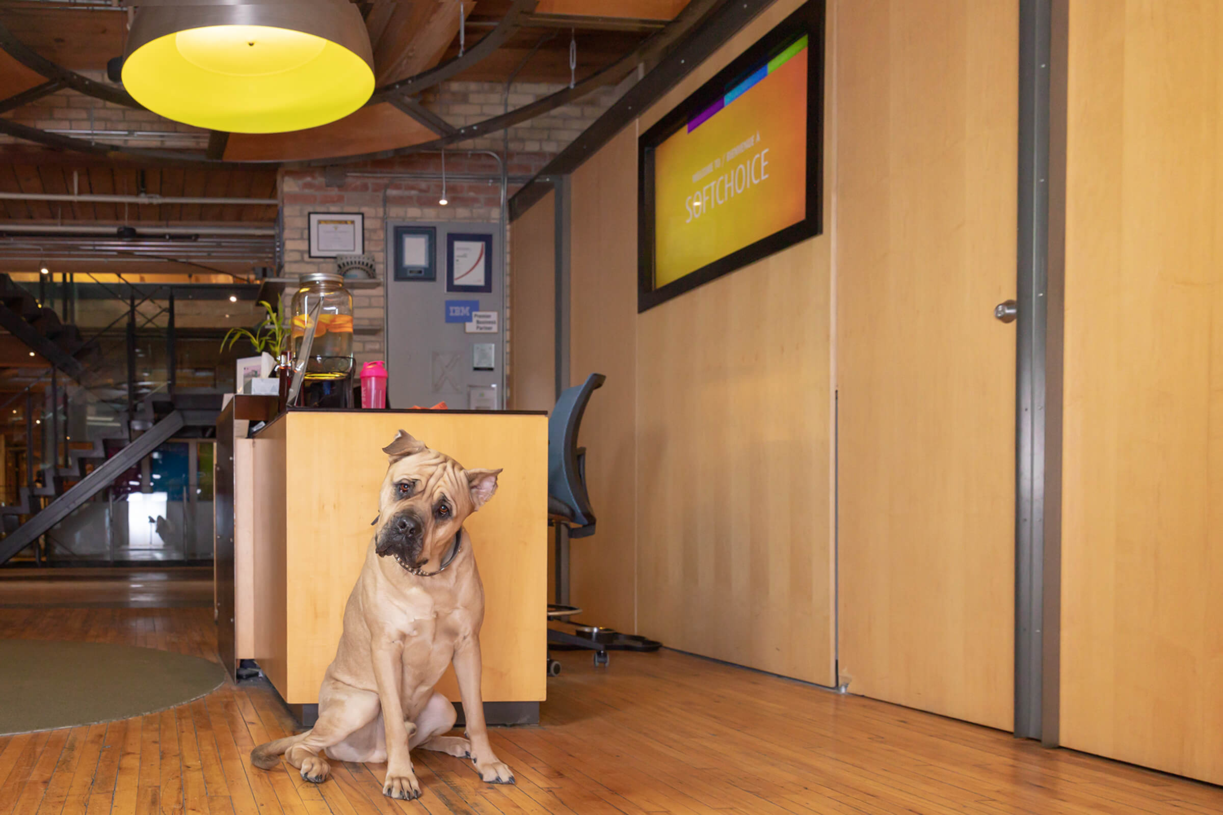Presa Canario dog in Toronto office