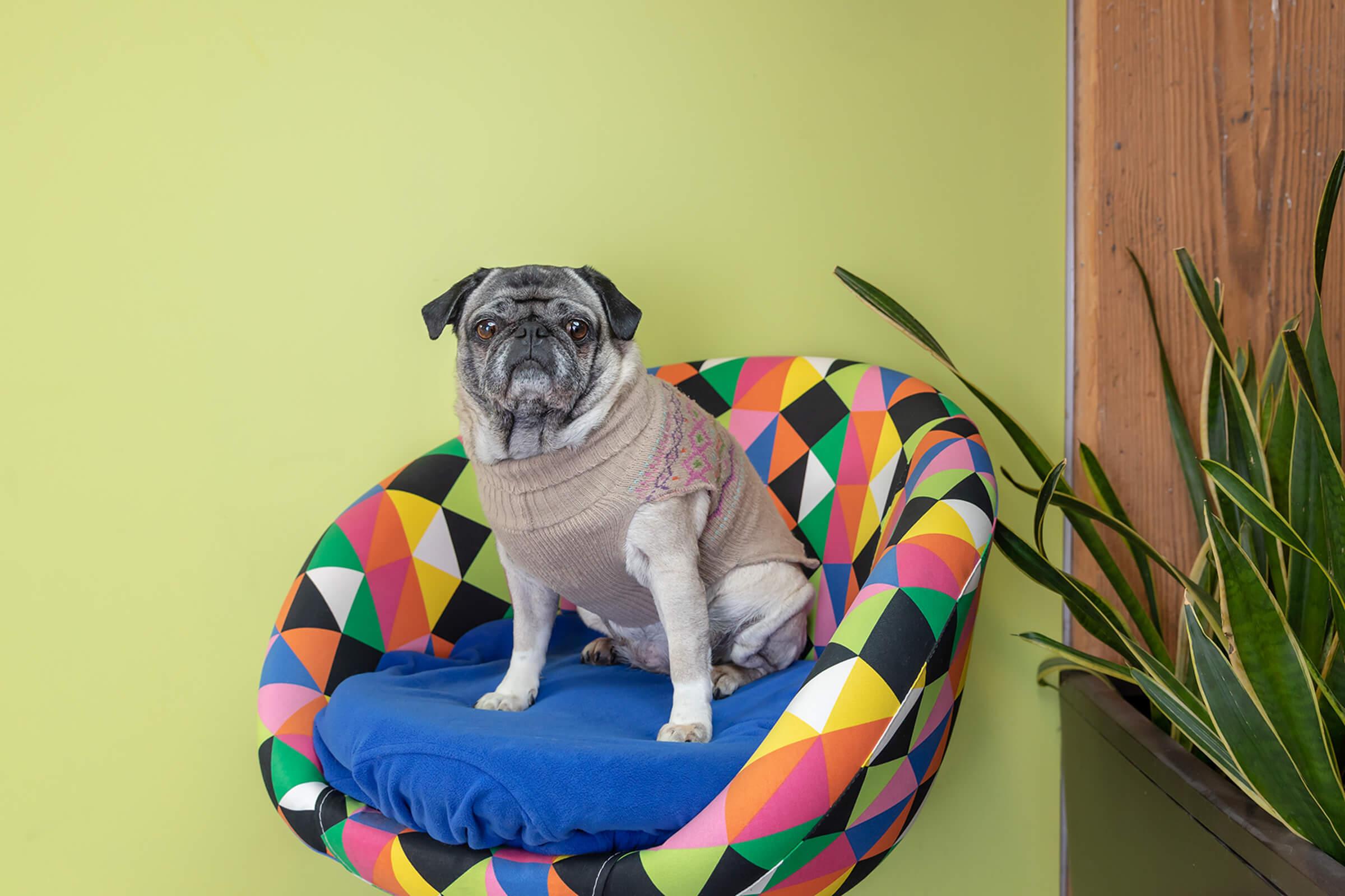 senior pug dog in Toronto office