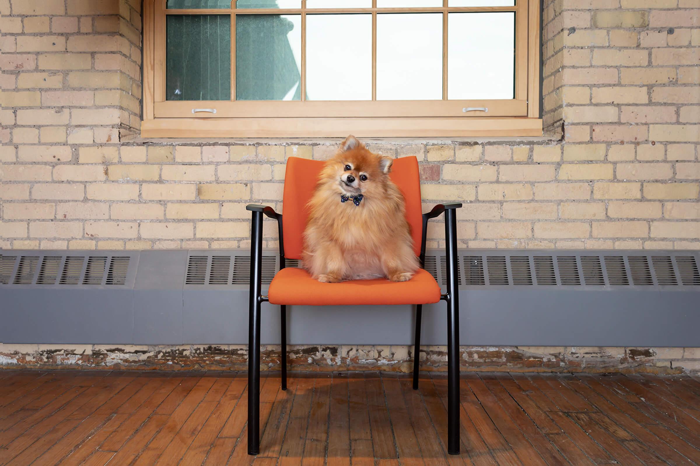 pomeranian dog in Toronto office