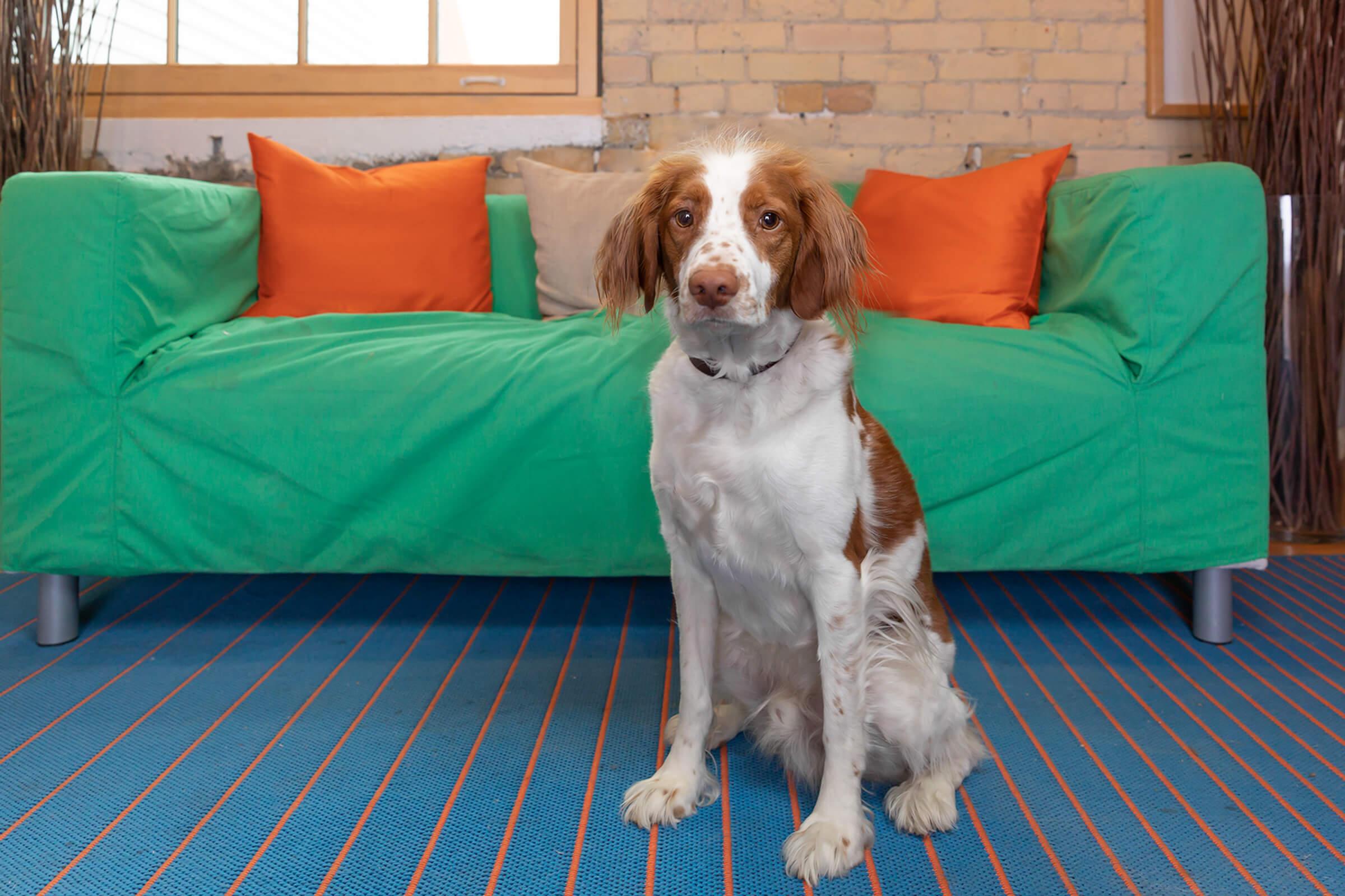 spaniel dog in Toronto office