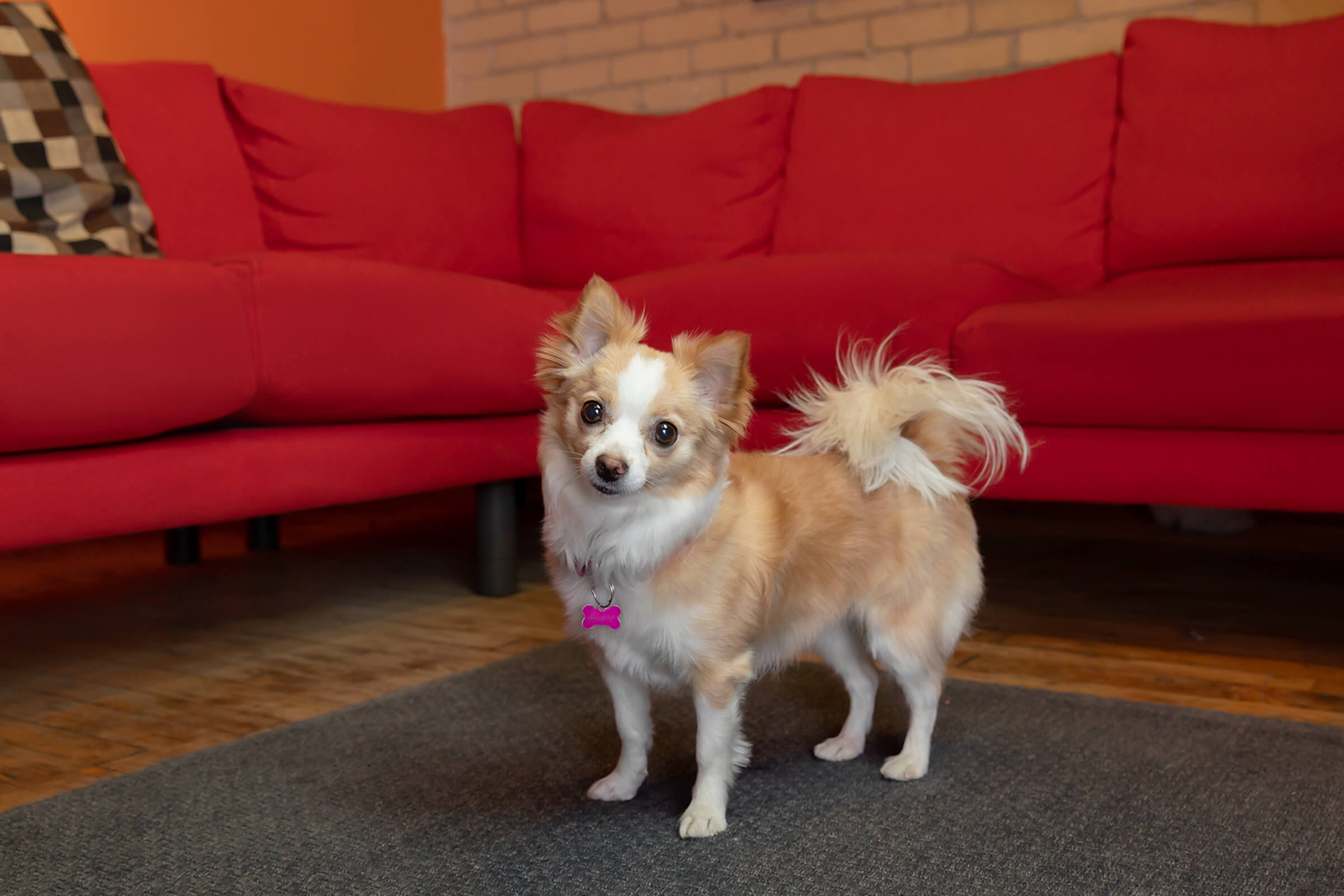 chihuahua dog in Toronto office