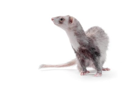 side profile of ferret on white background