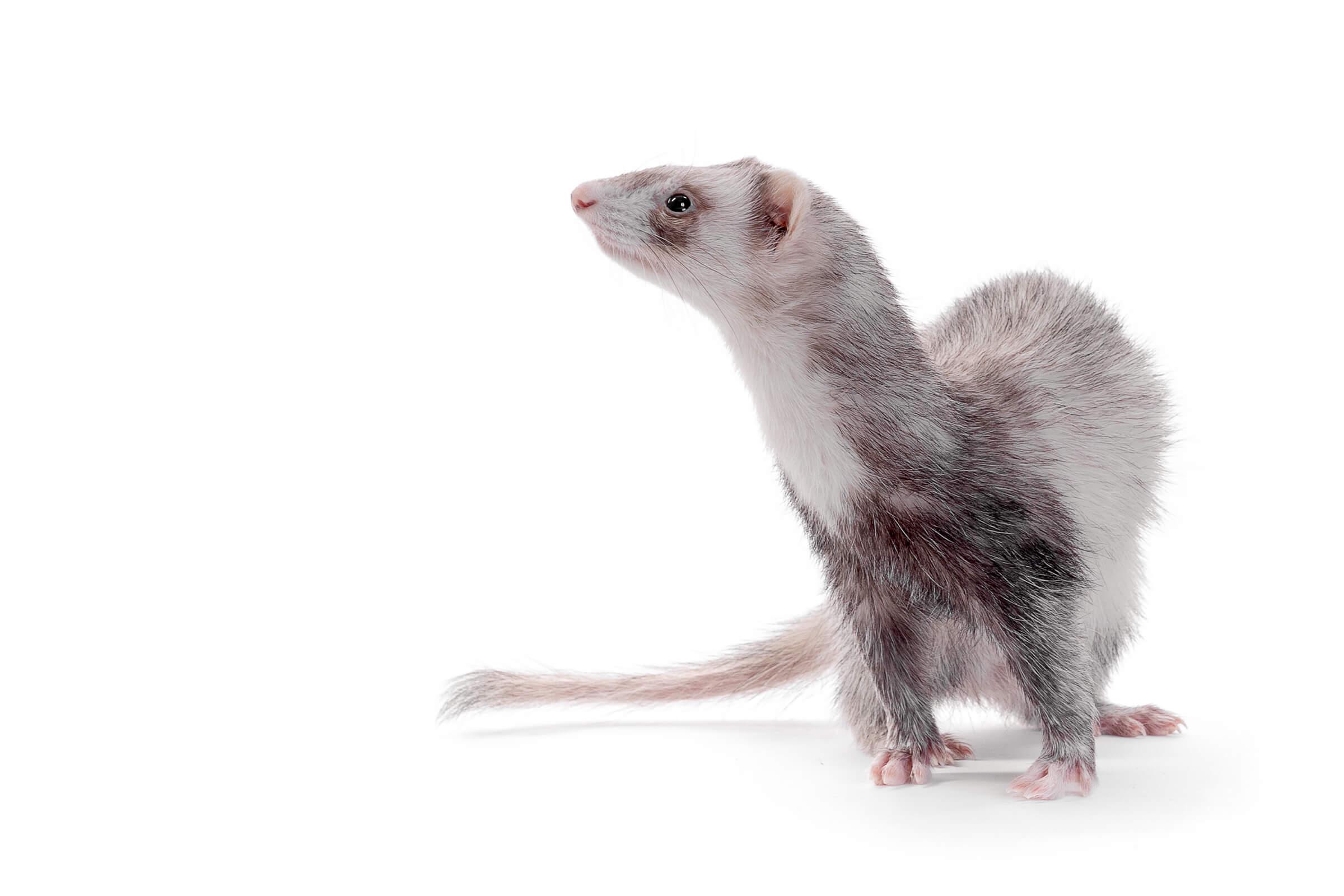 side profile of ferret on white background