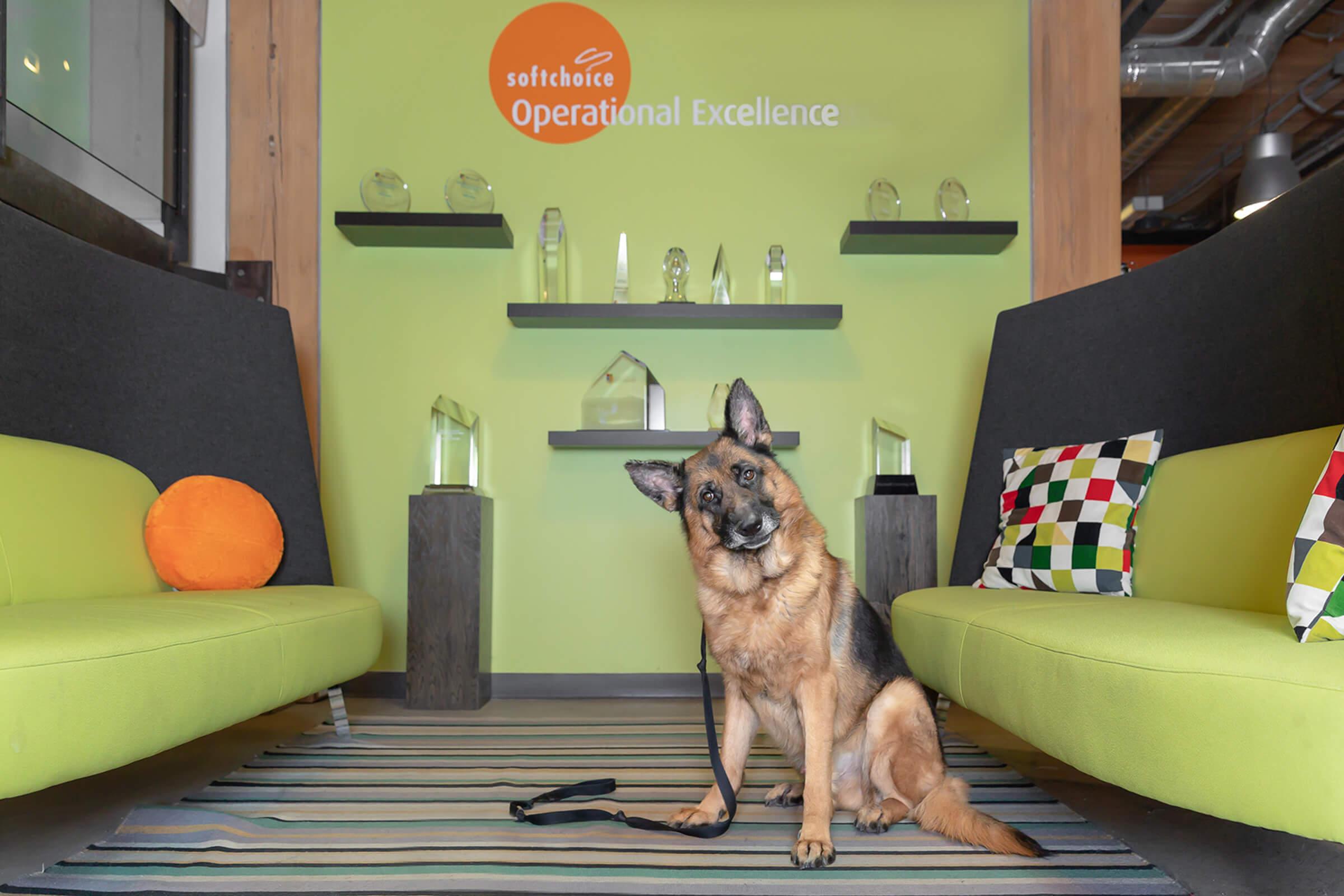 german shepherd dog in Toronto office