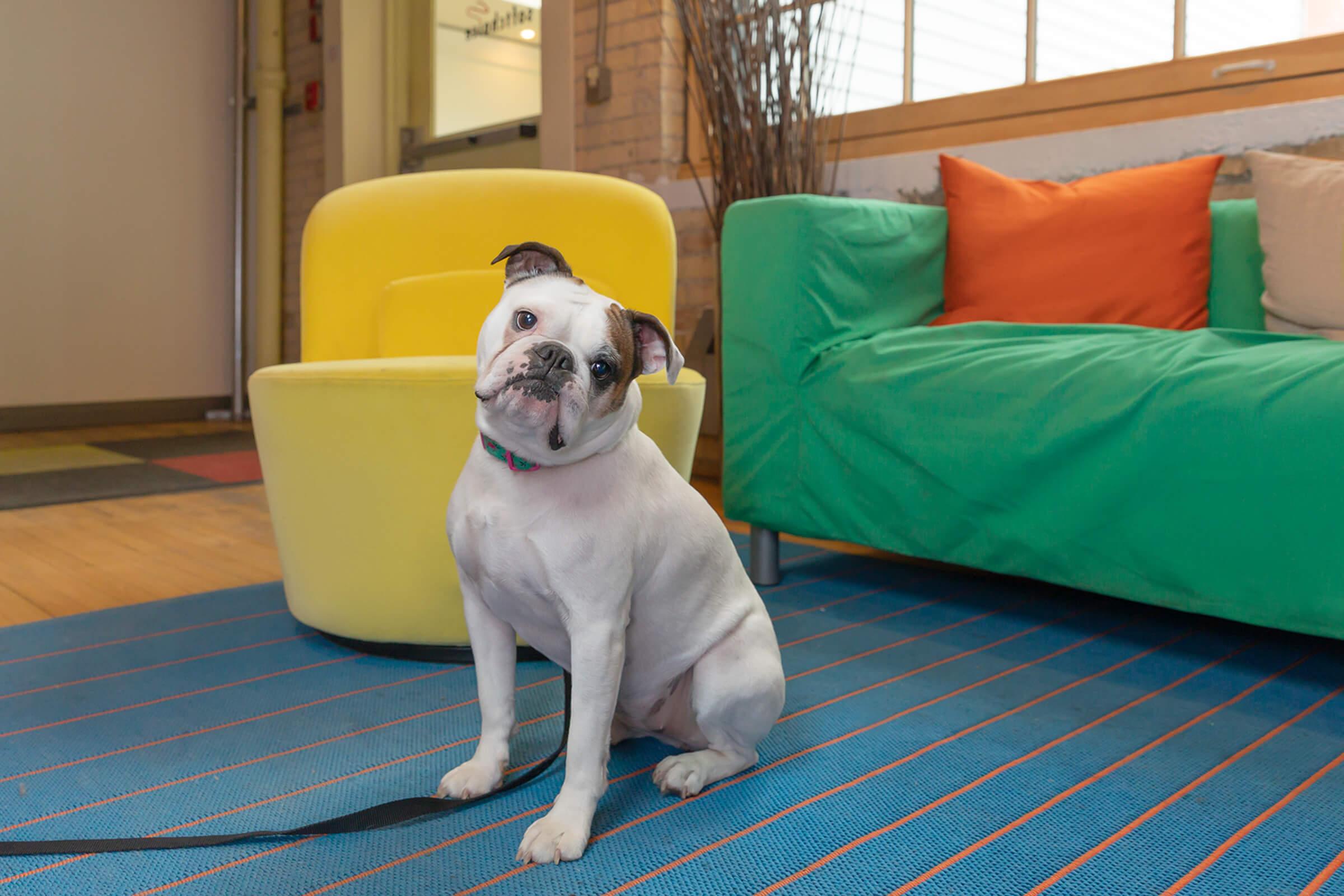 Boston bulldog in Toronto office
