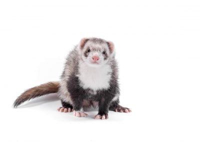 ferret on white studio background