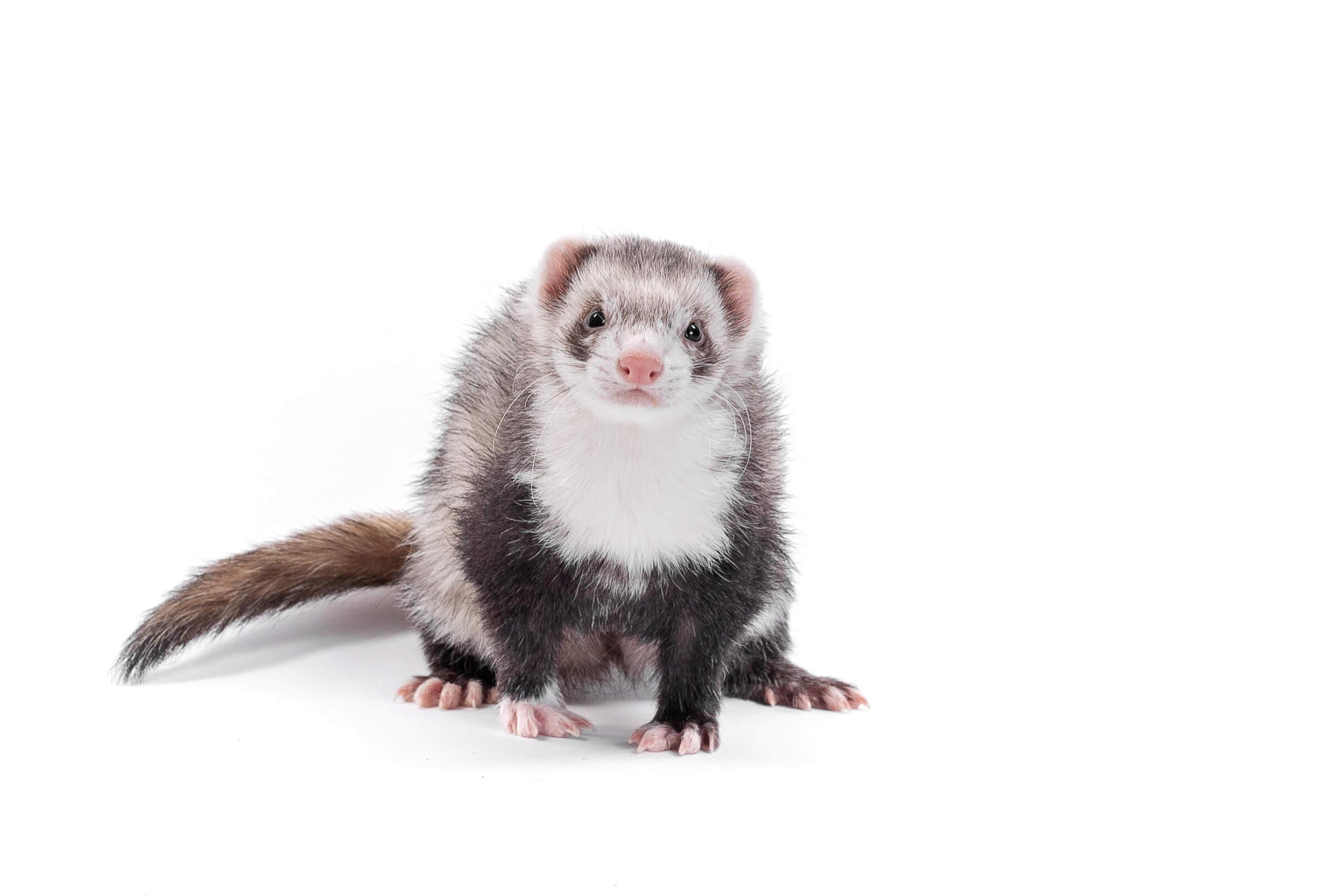 ferret on white studio background