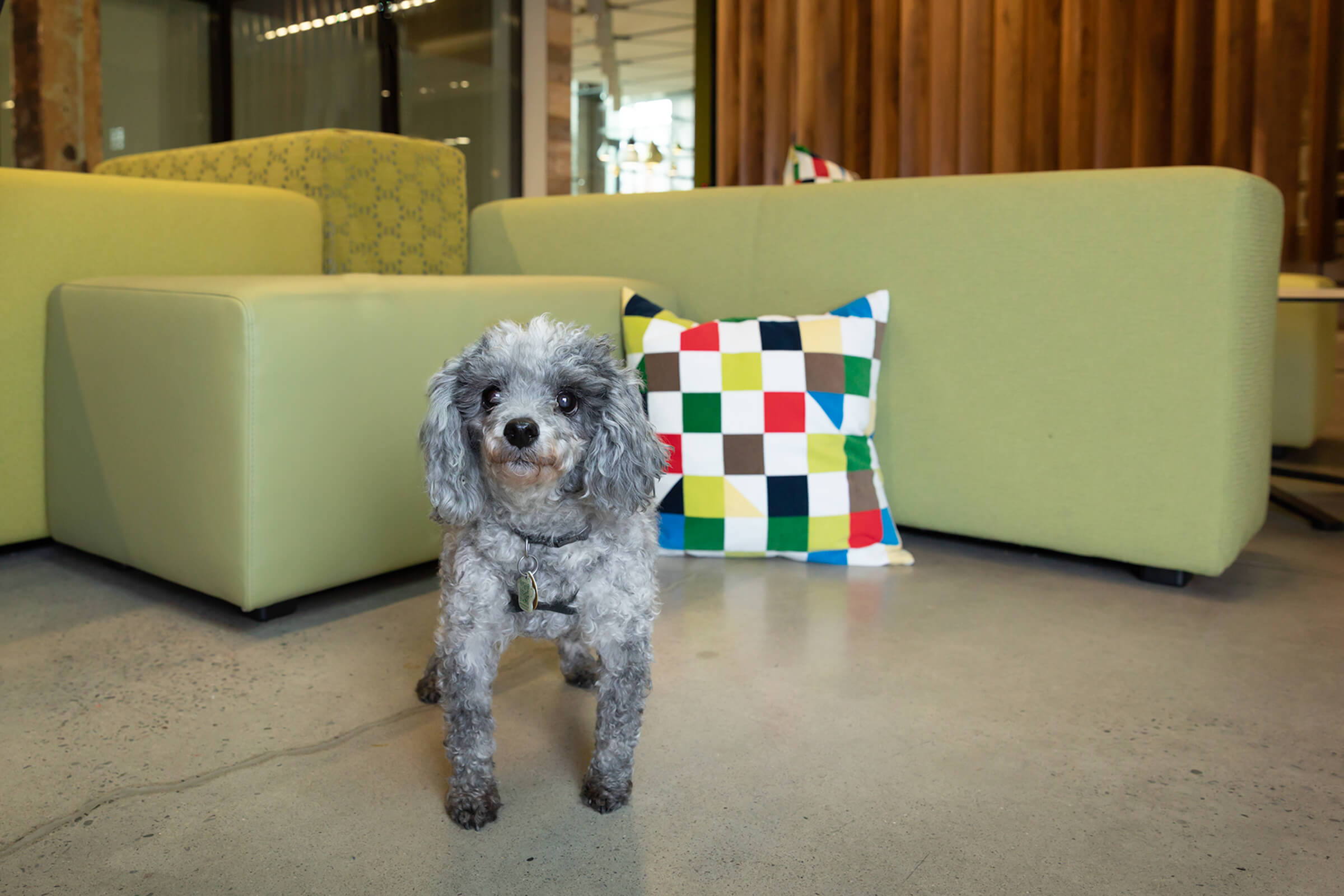 mini poodle in toronto office with green couch