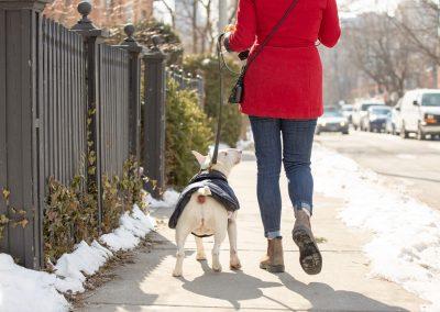 mini bully walking down city street with dog walker