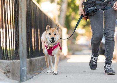 dog walking down street with walker