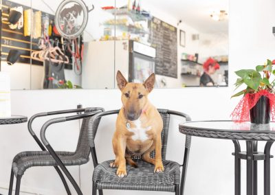 mini bull terrier sitting on chair in cafe; interiors phtographer