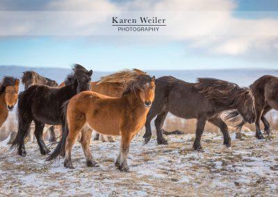 group of icelandic horses fine art print