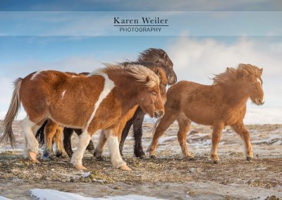 herd of icelandic horses fine art print