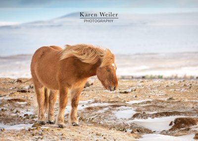 icelandic horse fine art print