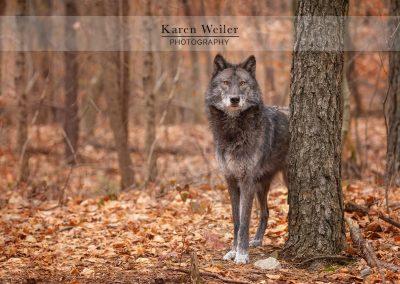 timber wolf fine art print
