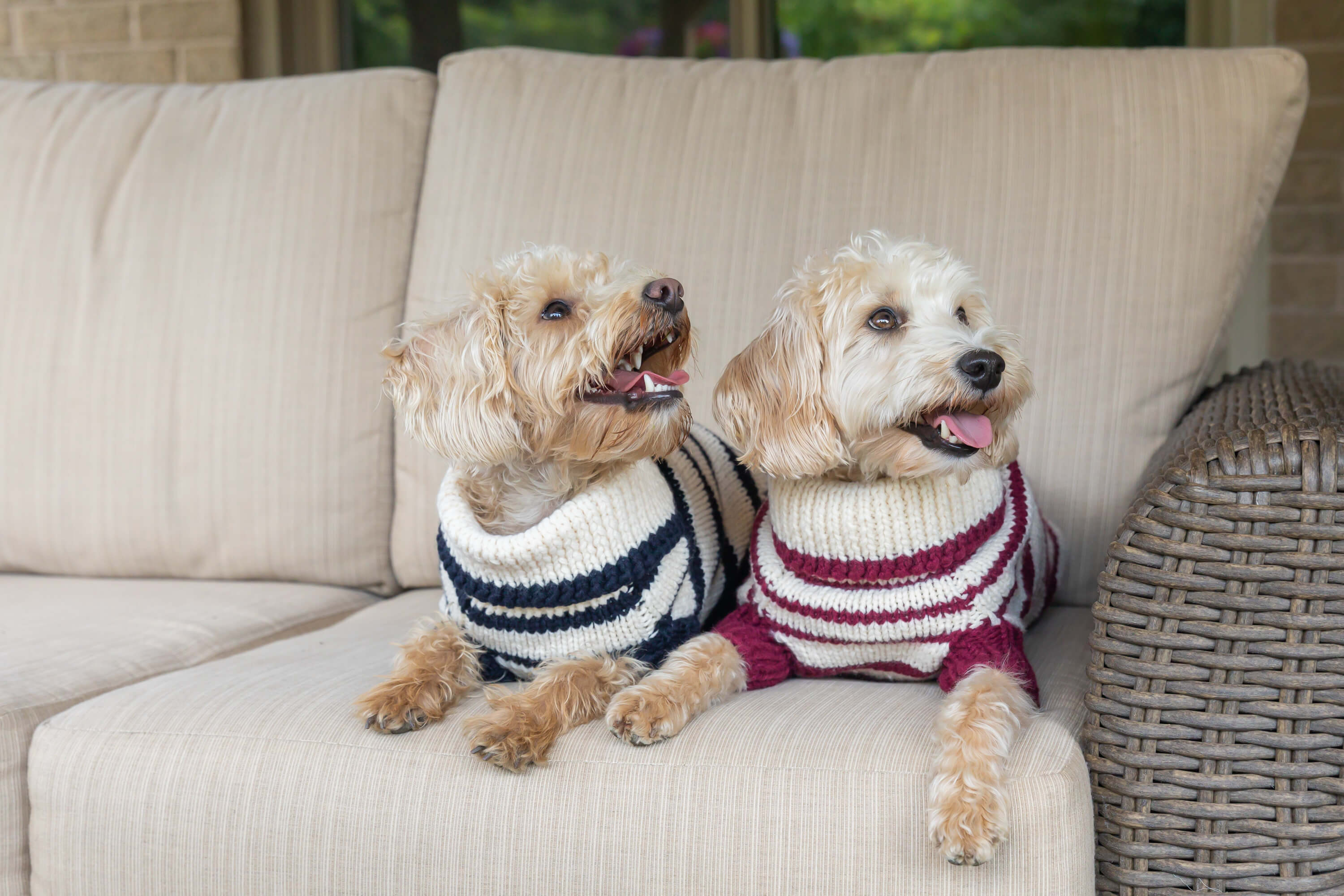two dogs in sweaters for commercial shoot