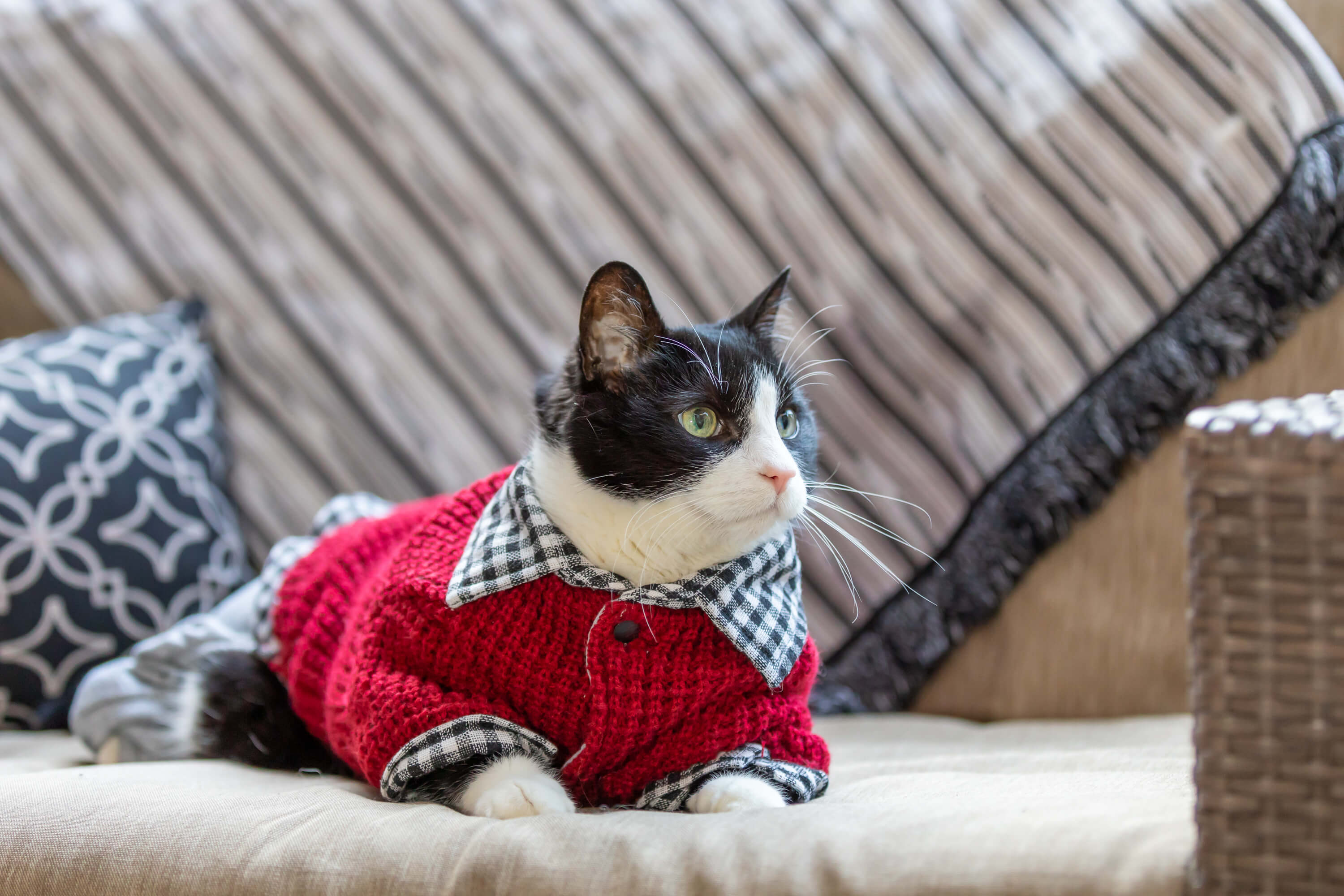 cat model in sweater for commercial shoot