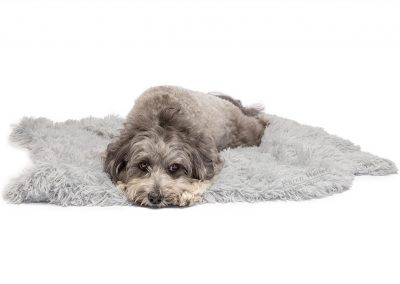 grey poodle lying on blanket in commercial shoot