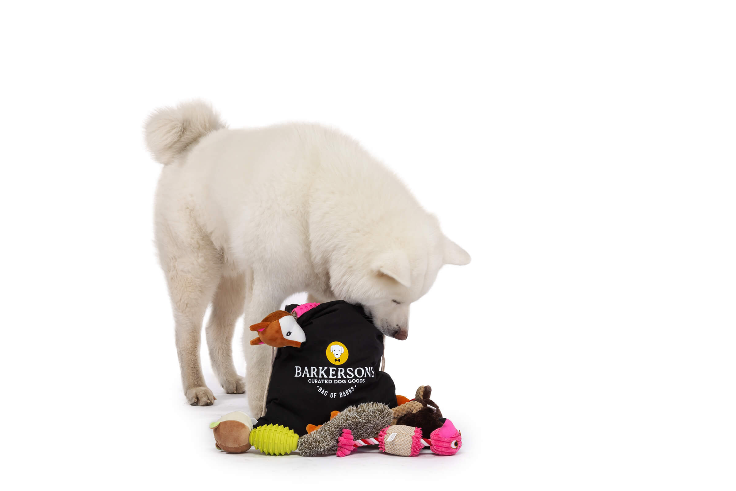 white dog playing with barkersons subscription box on white seamless