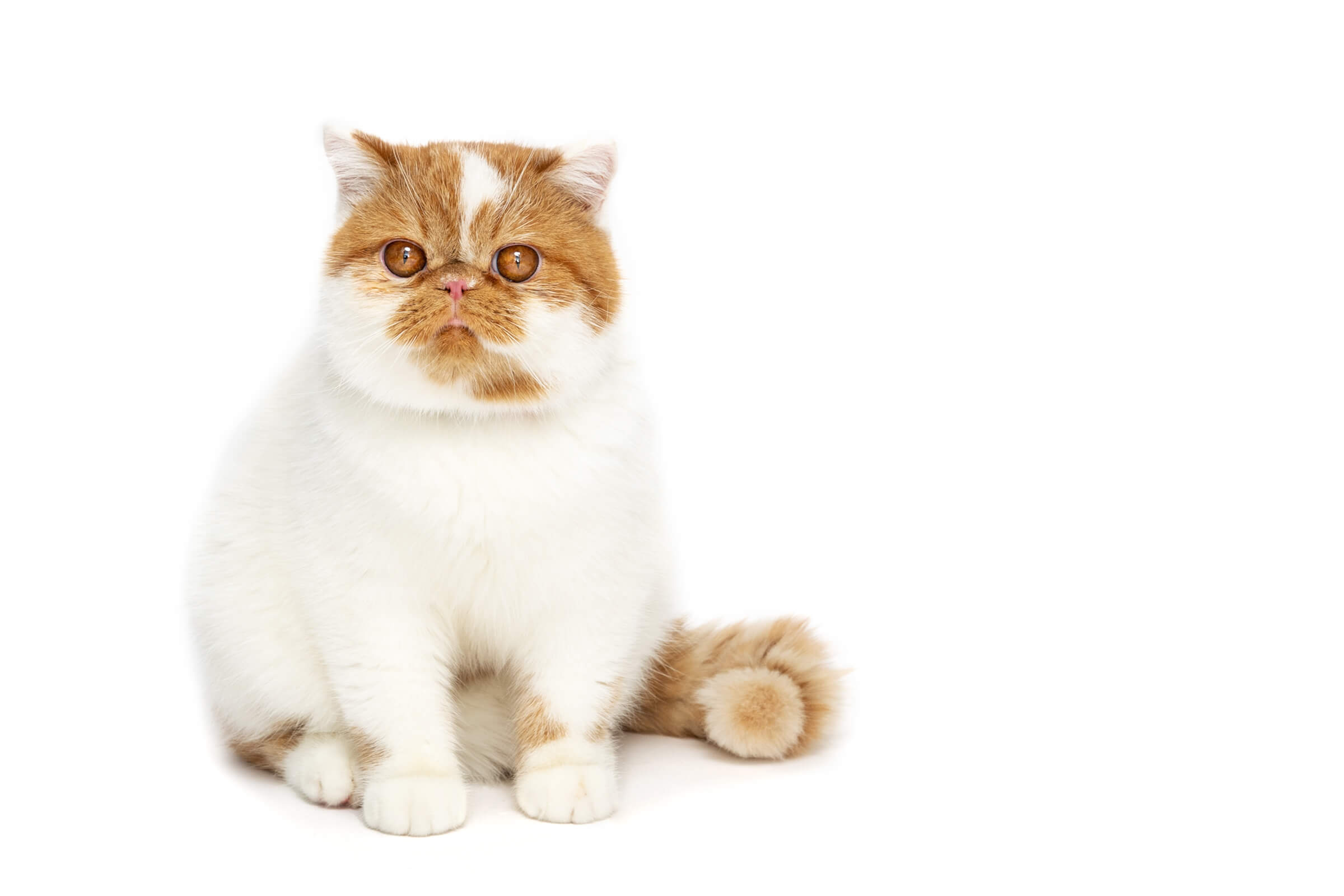 orange and white tabby cat during commercial photo shoot