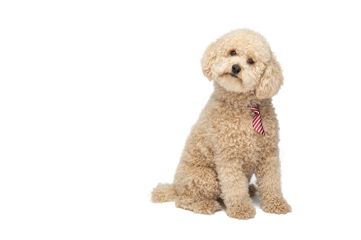 curly haired dog with commercial photographer