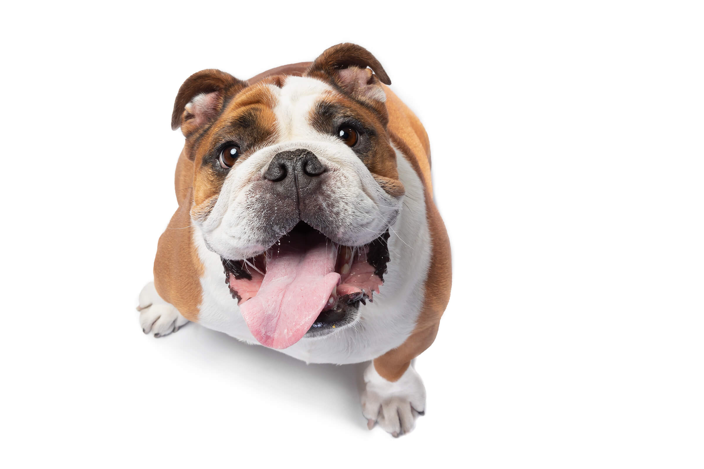 bulldog with big tongue during commercial photography session