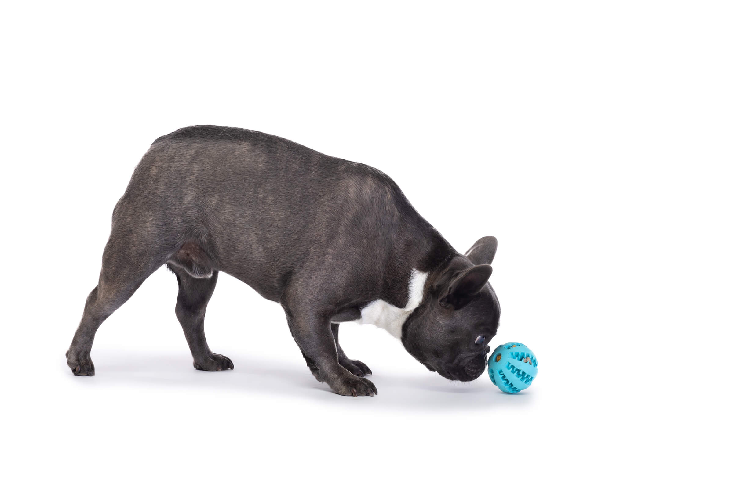 frenchie dog pushing ball with nose on white seamless