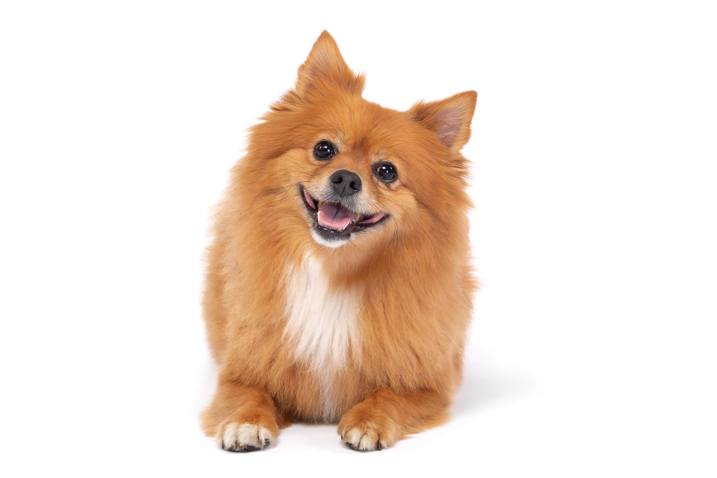 happy pomeranian dog on white seamless
