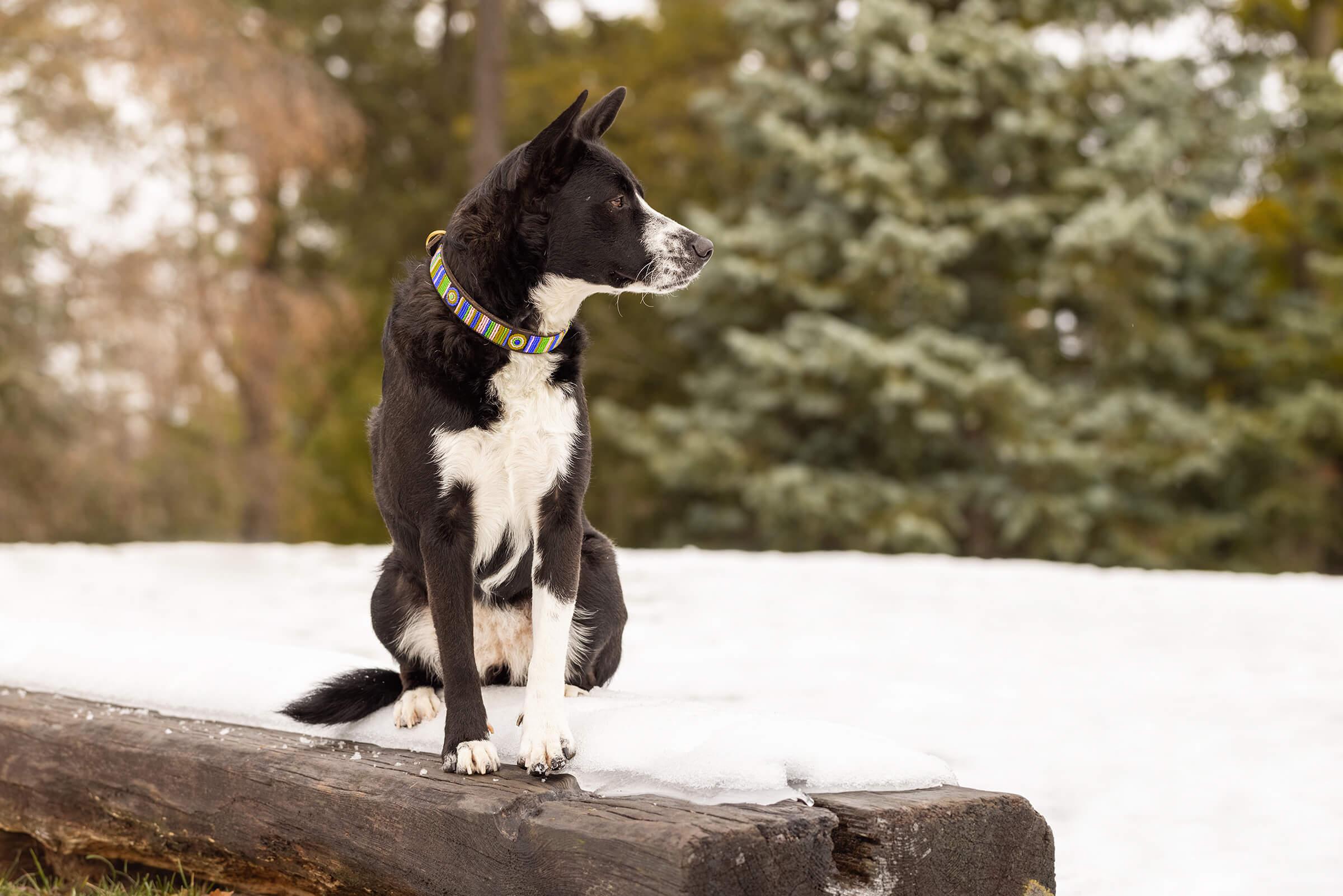 dog sitting on snow with luxury collar